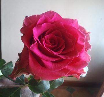 Pink Rhodos