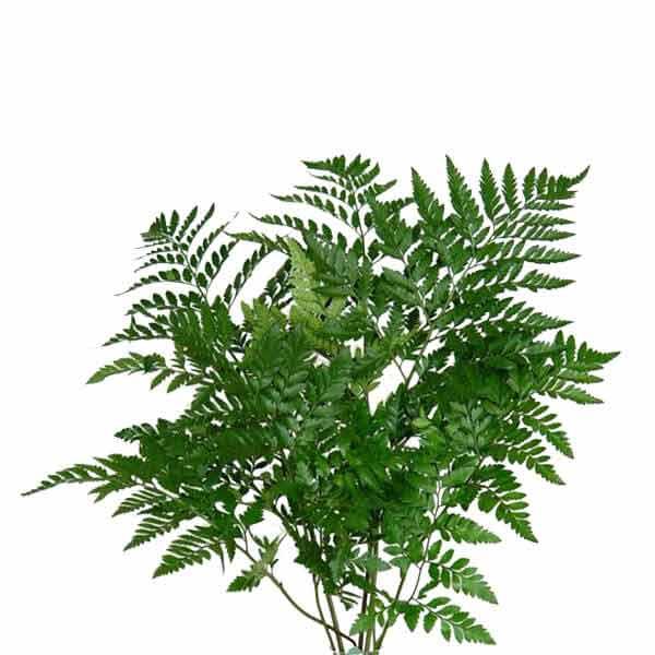 Leather-Ferns